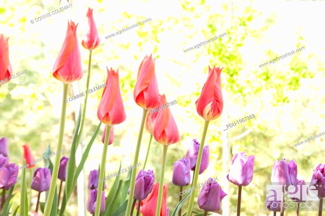Stock Photo: Tulips in a spring garden.