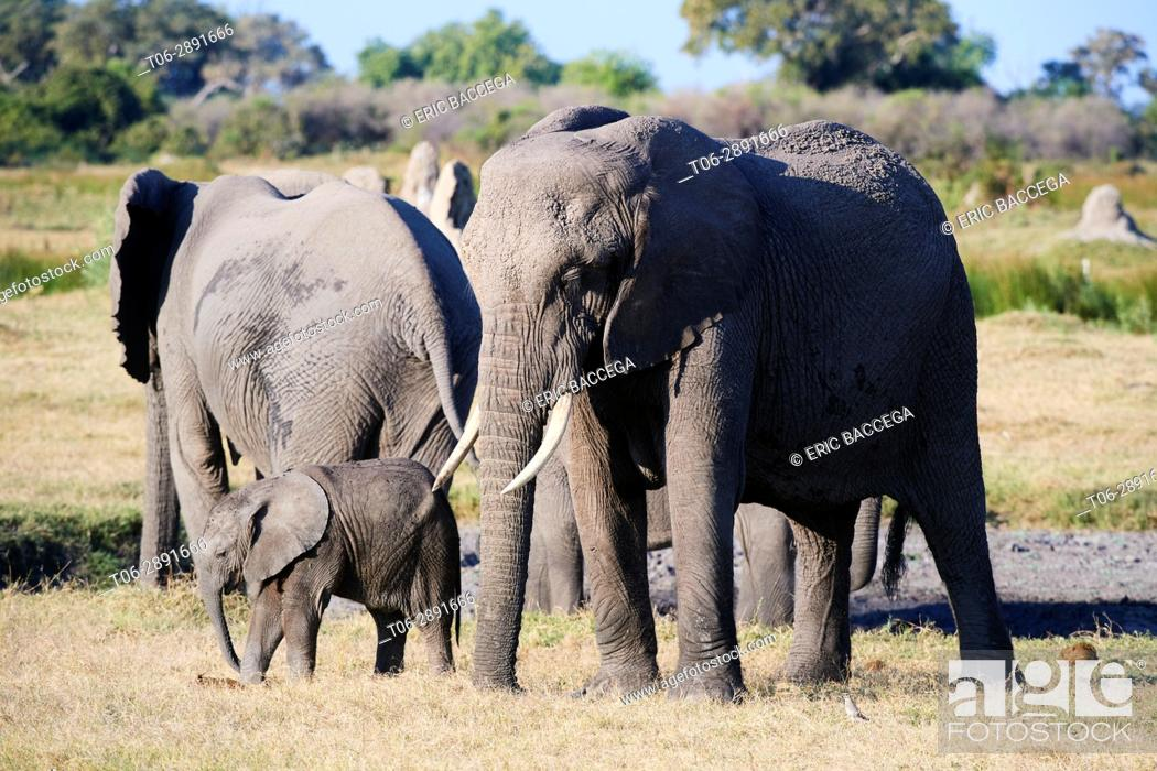 Stock Photo: African elephant family with mother and young calf (Loxodonta africana), Duba Plains, Okavango Delta,Botswana, Southern Africa.