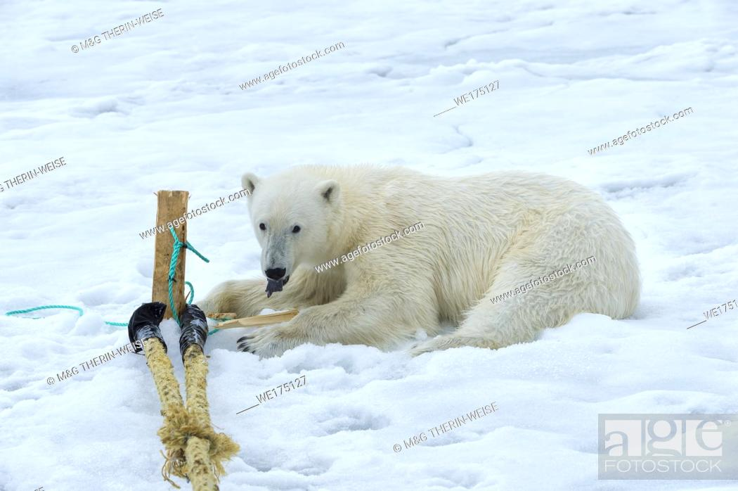 Photo de stock: Polar Bear (Ursus maritimus) inspecting and chewing on the pole of an expedition ship, Svalbard Archipelago, Norway.