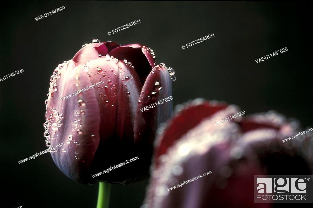 Stock Photo: Bernhard, blooms, bloom, black, abloom.