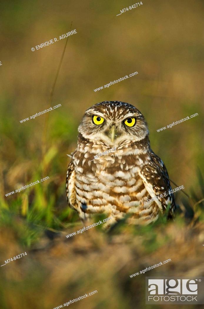 Stock Photo: Burrowing Owl Athene cunicularia floridana, Florida.