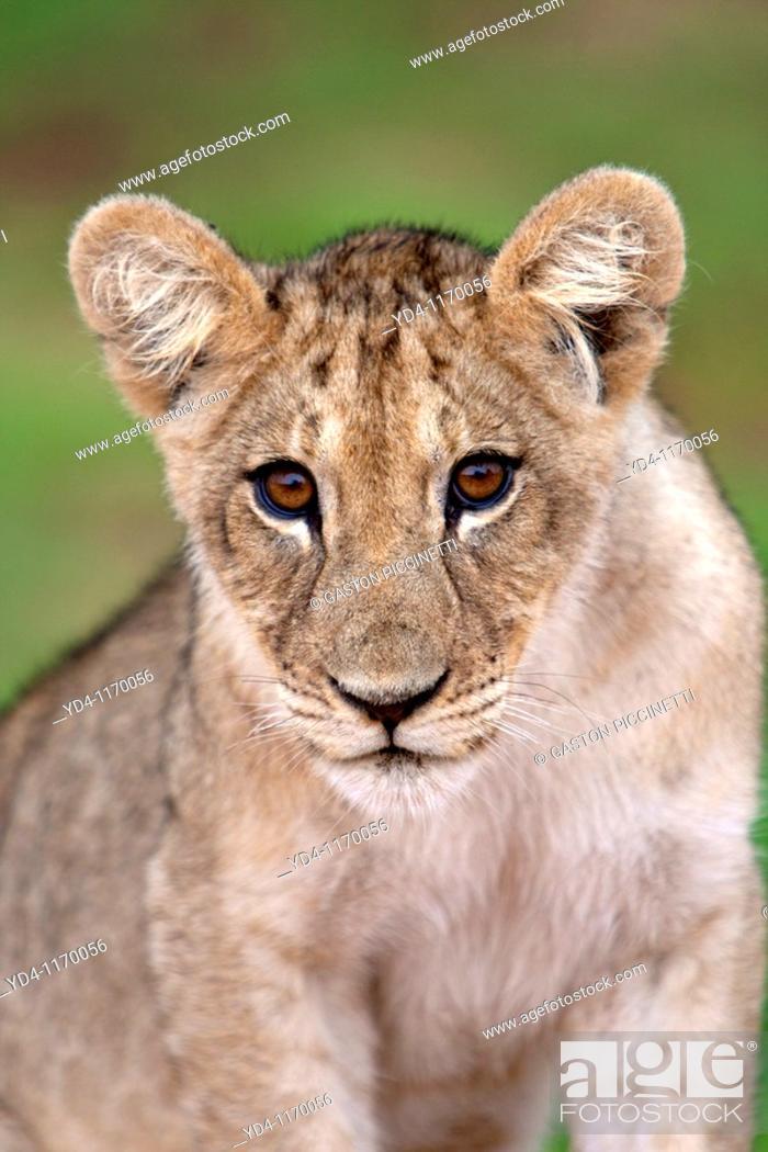 Stock Photo: African Lion Panthera leo - Young, Kgalagadi Transfrontier Park, Kalahari desert, South Africa.