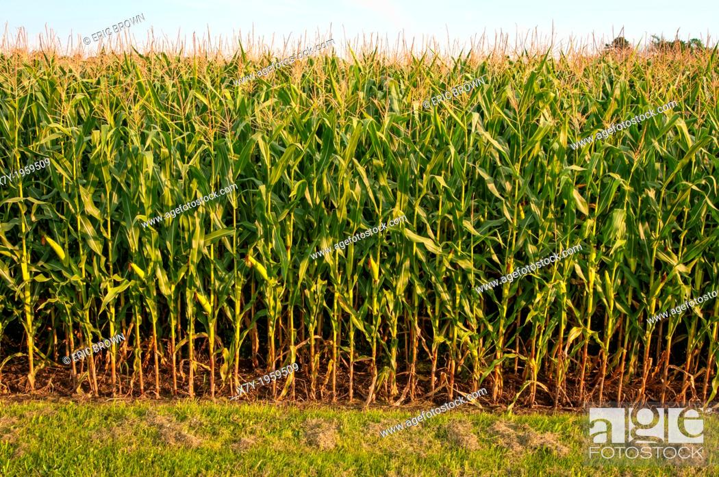 Stock Photo: Rows of corn in Bowenville, Ontario, CA.