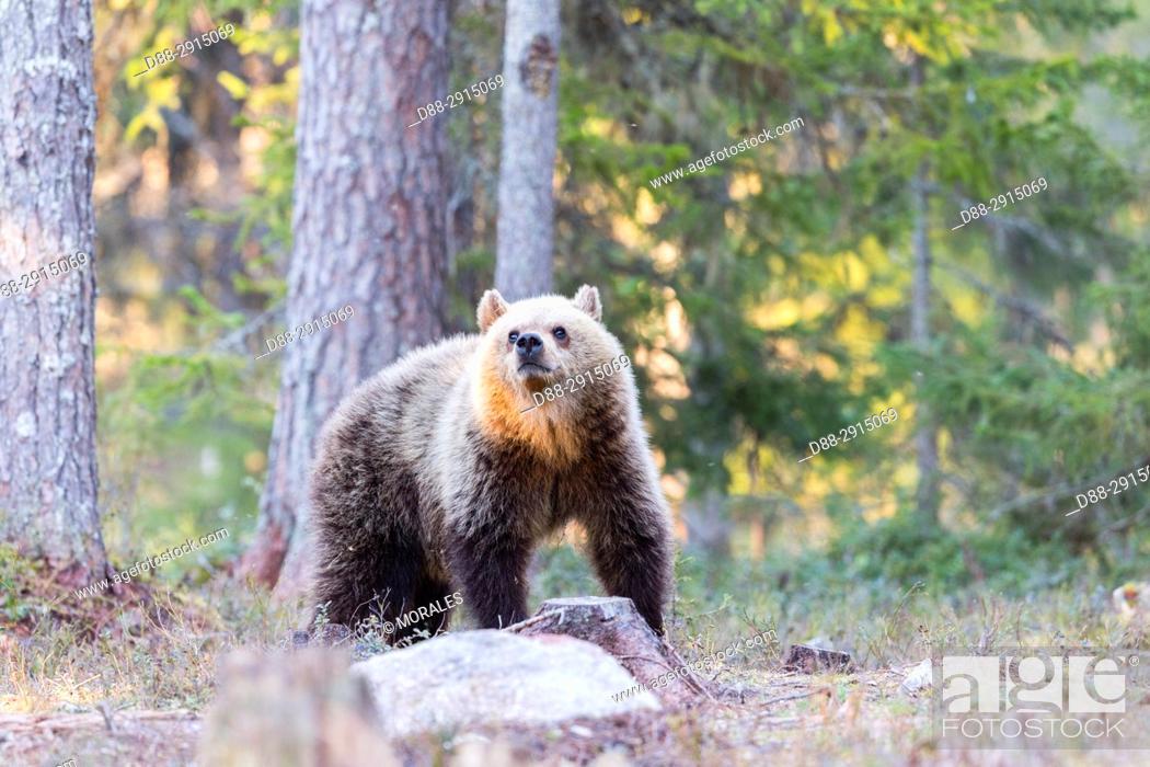 Stock Photo: Europe, Finland, Kuhmo area, Kajaani, Brown bear (Ursus arctos horribilis).