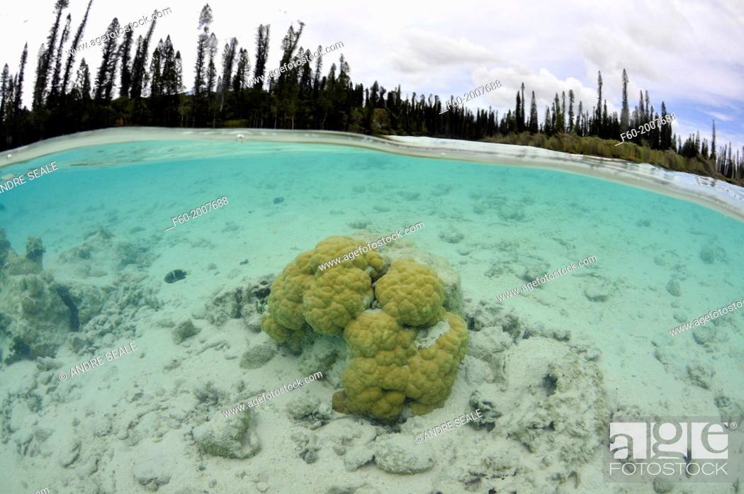 Stock Photo: Coral head and Conifers around La Piscine Naturelle at D'Oro Bay, Iles des Pins, New Caledonia, South Pacific.