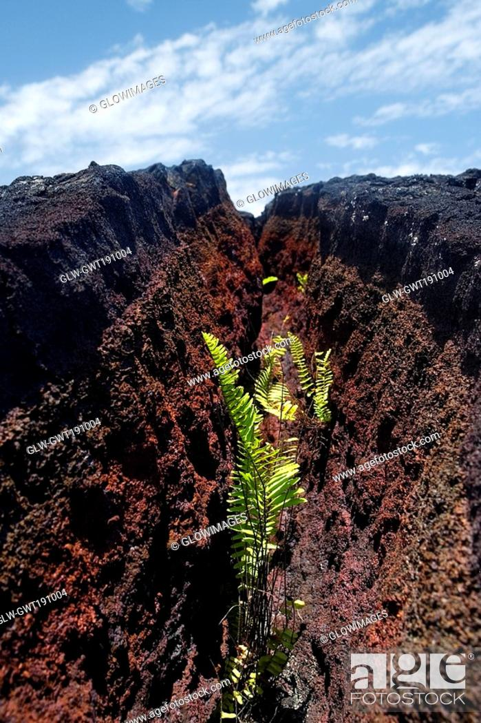Stock Photo: Growth of plants in dried lava cracks, Kalapana, Big Island, Hawaii Islands, USA.