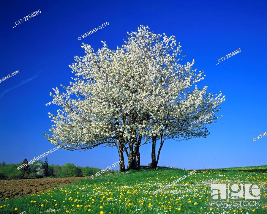 Imagen: nature, seasons, spring, tree, freestanding, blossoming of a tree, white blooms, dandelion meadow, Hessian Highlands, Hesse. Germany.