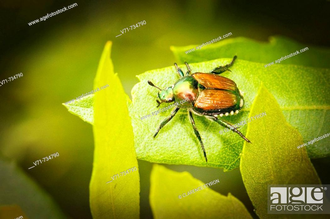Stock Photo: Japanese Beetle, Popilla japonica.