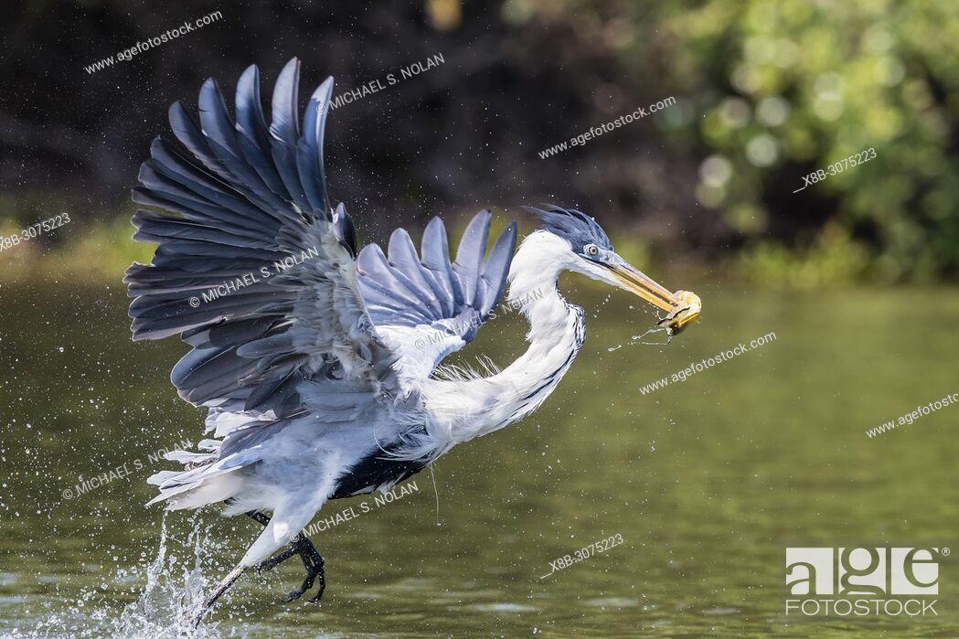 Imagen: An adult cocoi heron, Ardea cocoi, fishing. Pousado Rio Claro, Mato Grosso, Brazil.
