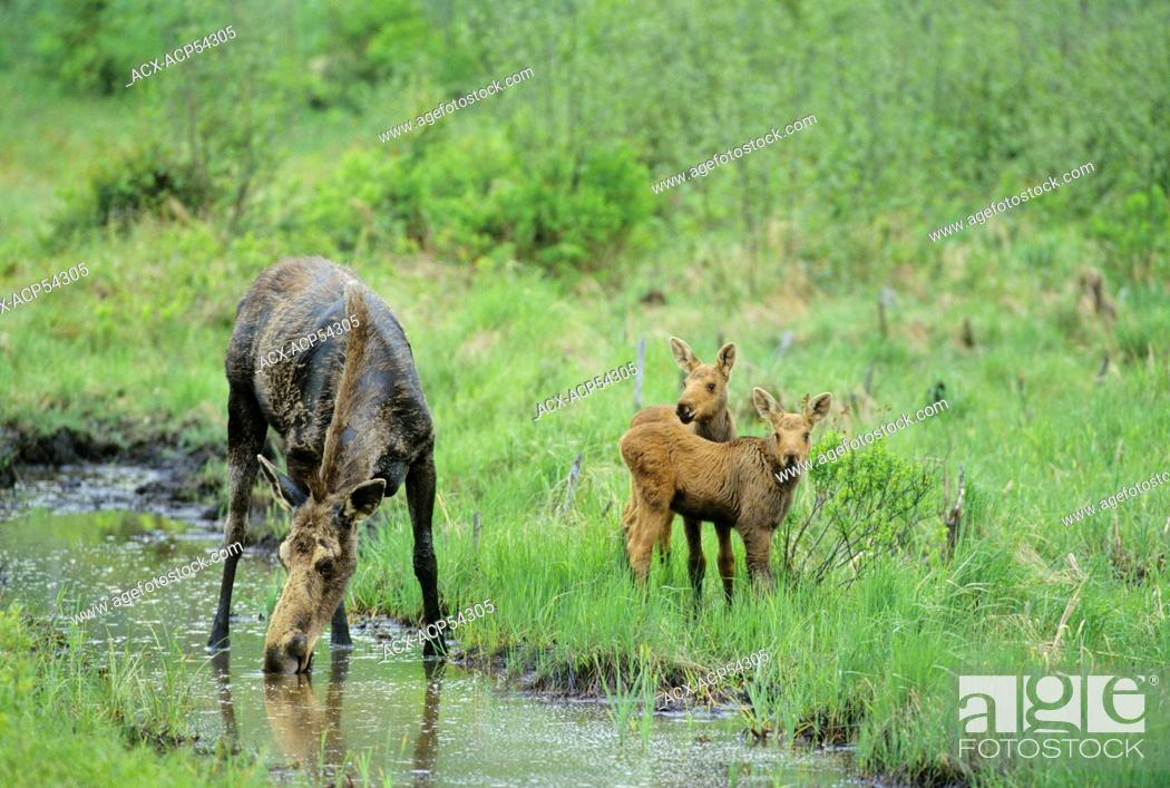 Stock Photo: Moose Alces alces Female with twins, drinking brackish water, Algonquin Provincial Park, Ontario, Canada.