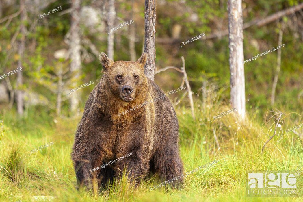 Imagen: Brown bear(Ursus arctos), Vartius, Finland (wild animal, non controlled conditions).