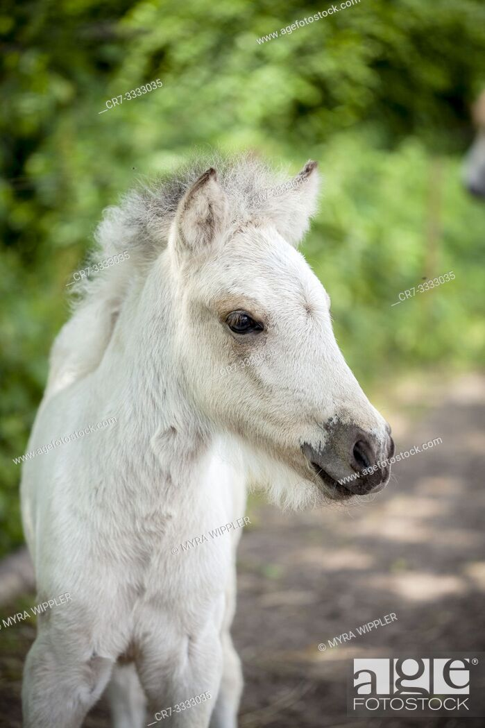 Stock Photo: Young light colored icelandic horse foal in a sandy paddock.