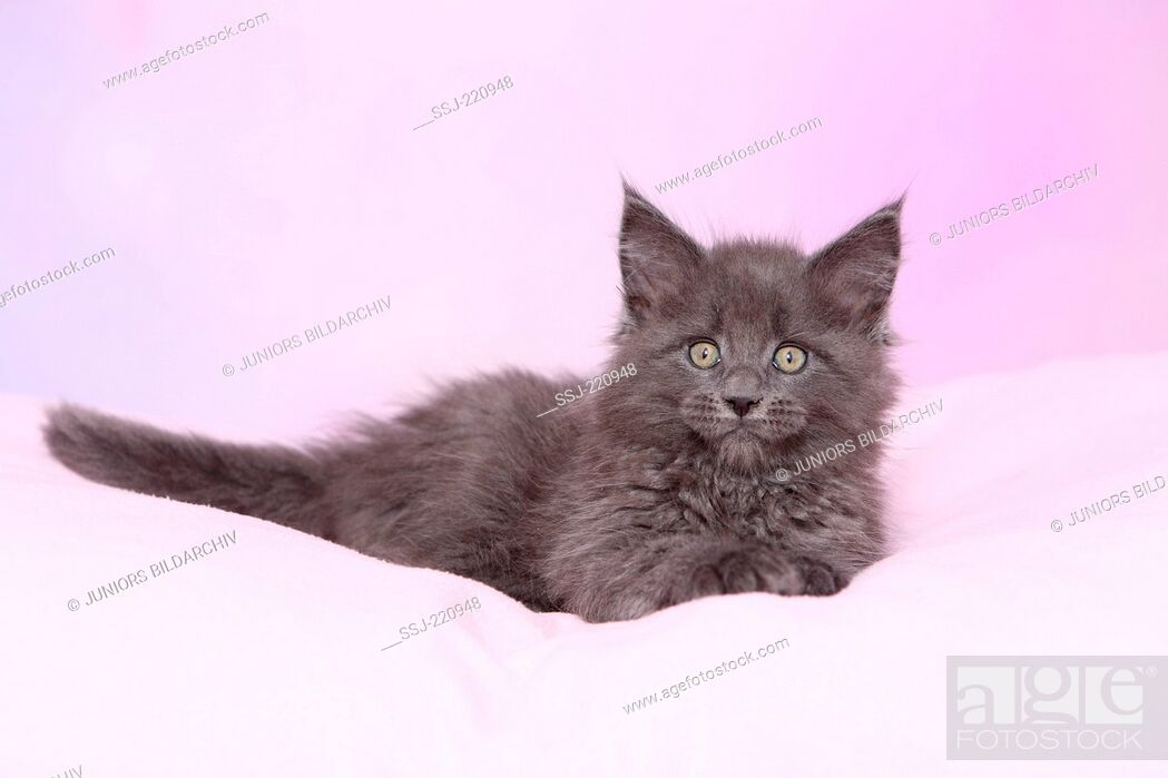 Imagen: American Longhair, Maine Coon. Blue kitten (8 weeks old) lying on a pink blanket. Germany. Studio picture seen against a pink background.