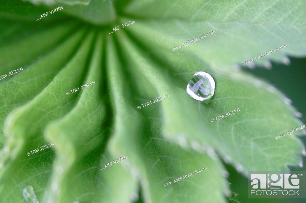 Stock Photo: Leaf detail with water droplet close up England , UK.
