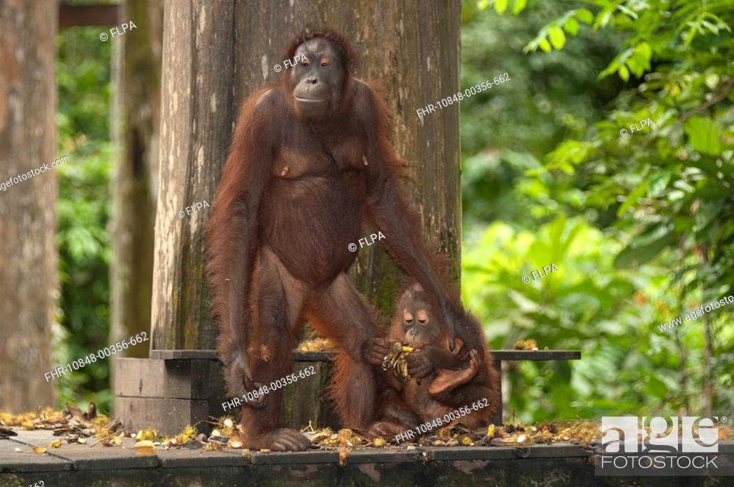Stock Photo: Bornean Orang-utan Pongo pygmaeus adult female with baby, on feeding platform, Sepilok Rehabilitation Centre, Sabah, Borneo, Malaysia.