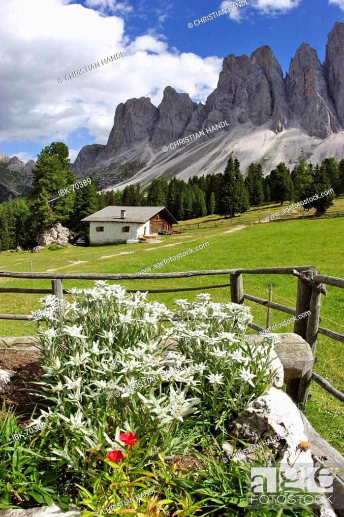 Imagen: View from the Glatsch alp over Eldelweiß flowers Leontopodium alpinum to the Geisler mountain range South Tyrol Italy.