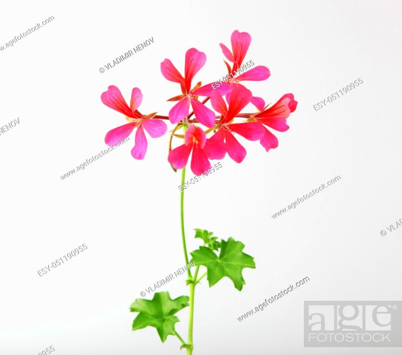 Stock Photo: Geranium Pelargonium Flowers Isolated On White Background.