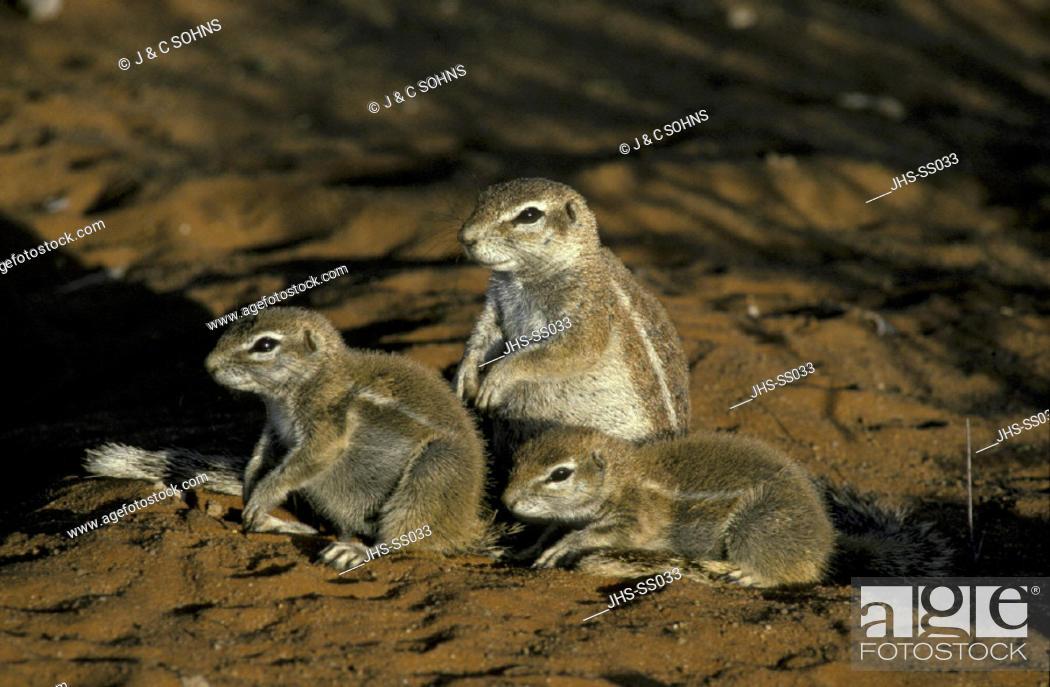 Stock Photo: Ground Squirrel , Xerus inaurus , Kalahari Gemsbok National Park,  South Africa , Africa , Family at cave , at den , in last sunlight.