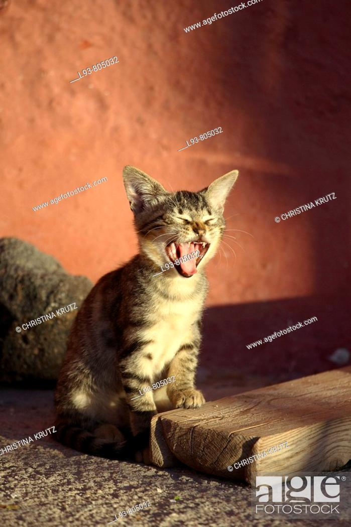 Stock Photo: Young cat yawning.
