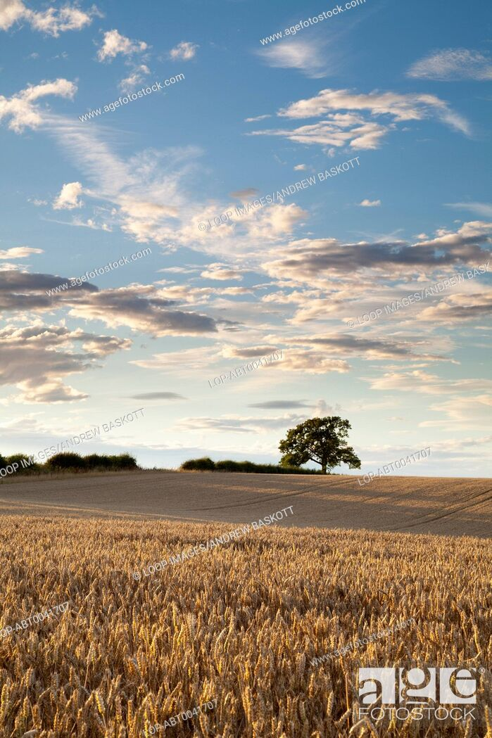 Imagen: A field of golden ripened wheat bathed in warm evening sunshine.