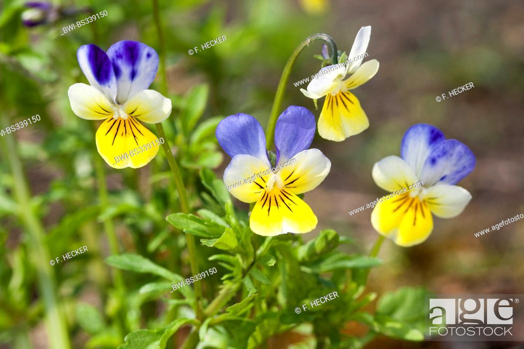 Heart S Ease Heartsease Wild Pansy Three Colored Violet Viola