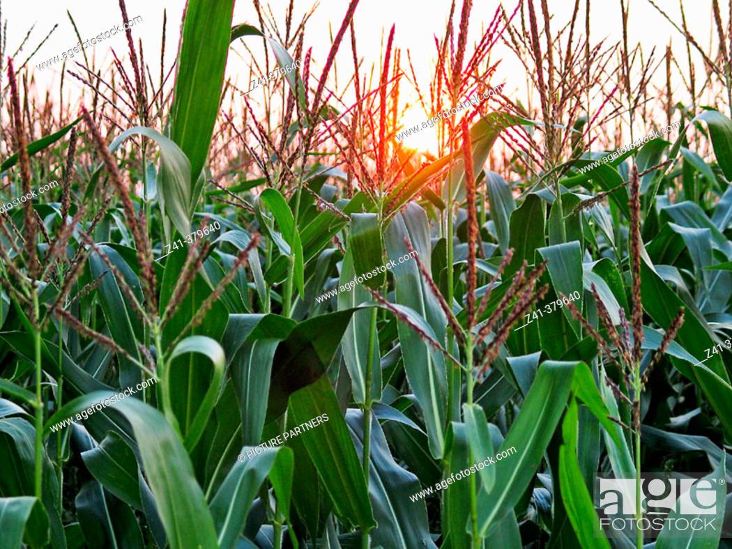 Stock Photo: Cornfield at sundown.