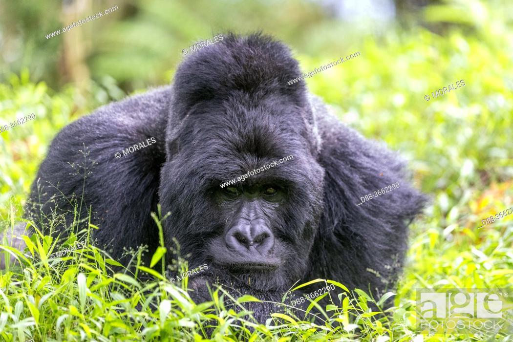 Photo de stock: Africa, Uganda, Mgahinga, The Mgahinga Gorilla National Park in Uganda adjoins the Virunga National Park in the Democratic Republic of the Congo and the.