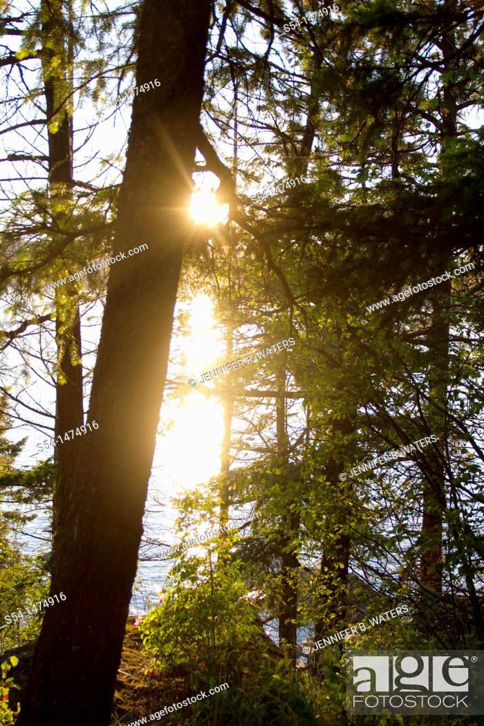 Stock Photo: Backlit pine trees in Coeur d' Alene, Idaho, USA.