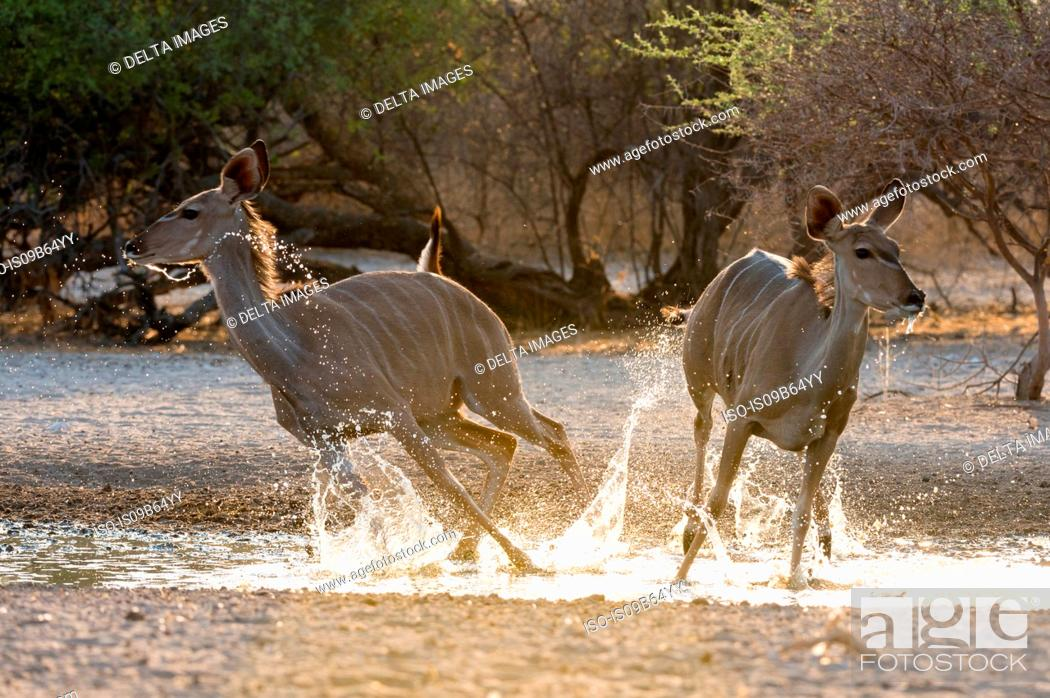 Stock Photo: Two greater kudu females (Tragelaphus strepsiceros), running from waterhole at sunrise, Kalahari, Botswana, Africa.