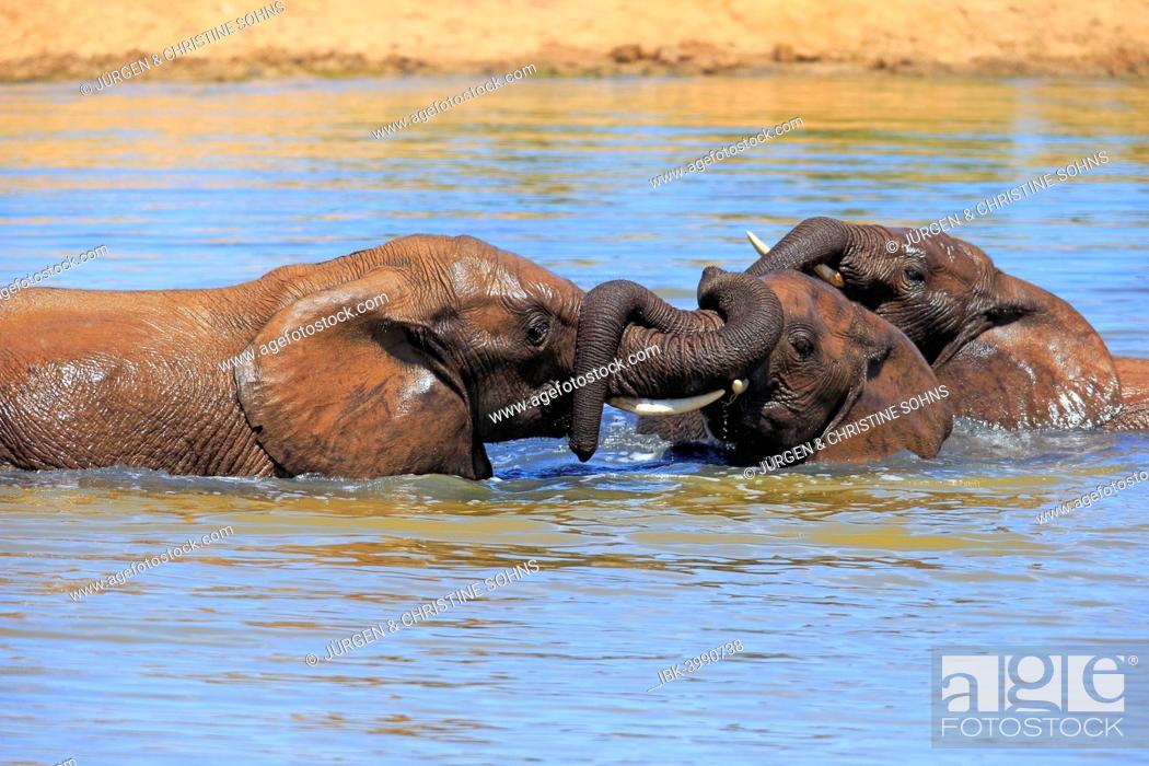 Stock Photo: African elephant (Loxodonta africana) elephants bathing in the water, social behavior, Addo Elephant National Park, Eastern Cape, South Africa.