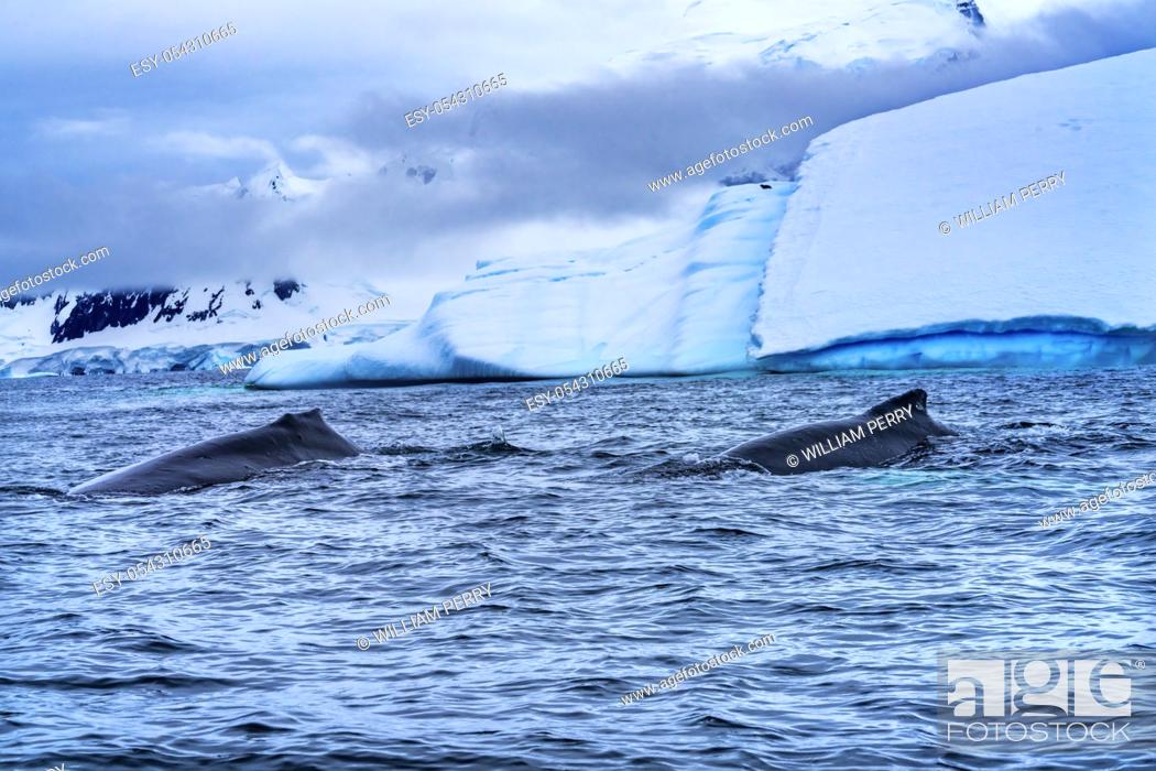 Imagen: Two Humback Baleen Whales Chasing Krill Blue Iceberg Floating Sea Water Charlotte Bay Antarctic Peninsula Antarctica. Baleen Whale.
