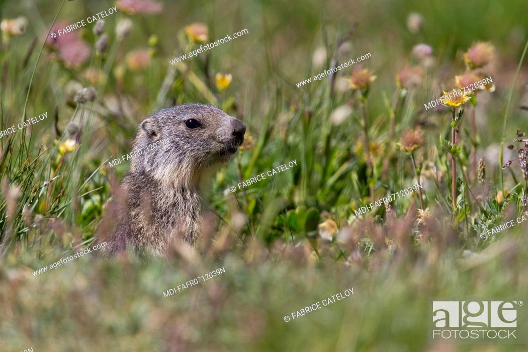 Stock Photo: Nature - Fauna - Marmot - Young marmot in the natural regional park of Queyras.