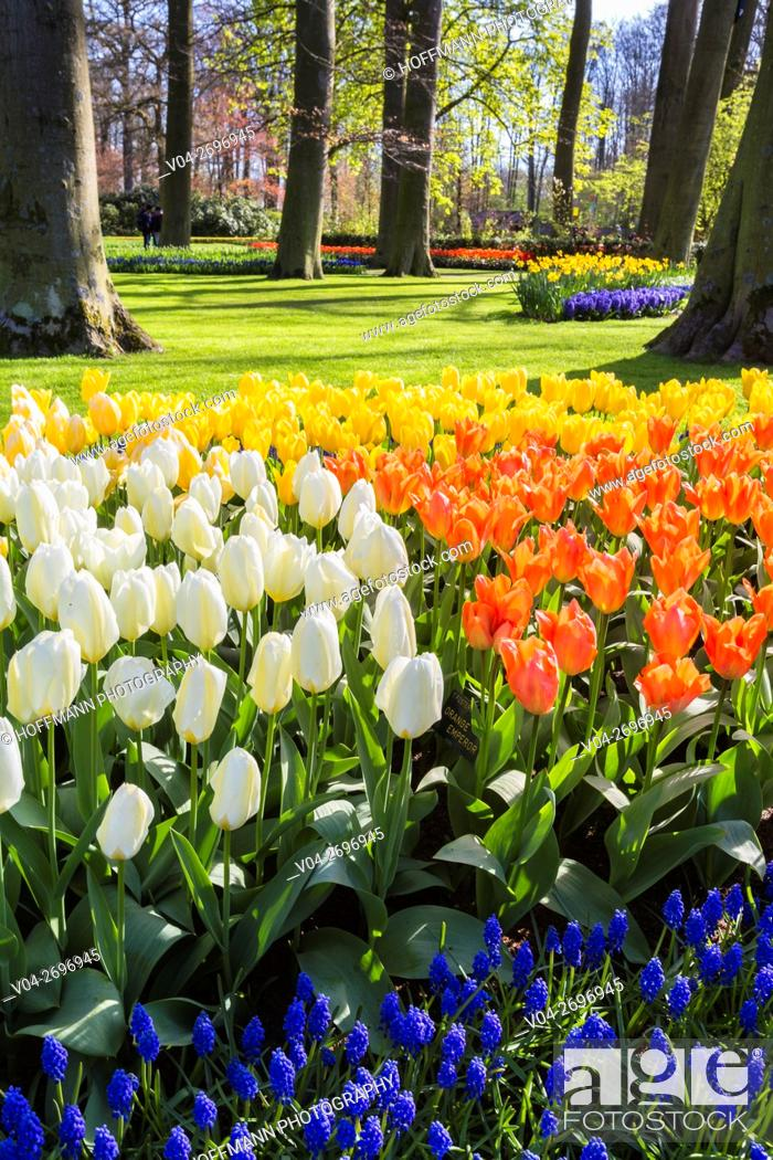 Imagen: Beautiful blooming flowers in the famous Keukenhof (Keukenhof Gardens), The Netherlands, Europe.