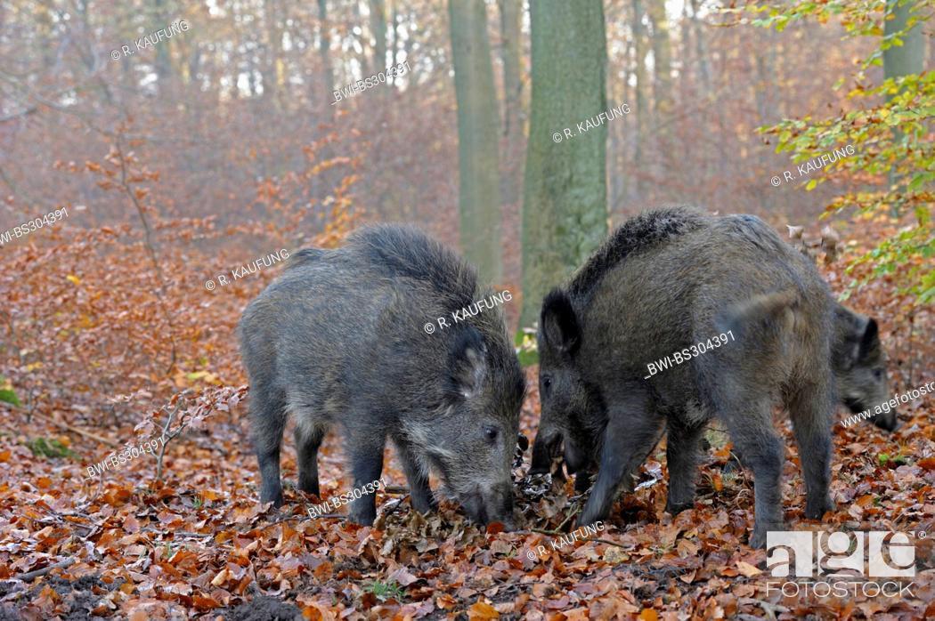 wild boar, pig, wild boar (Sus scrofa), three wild boars