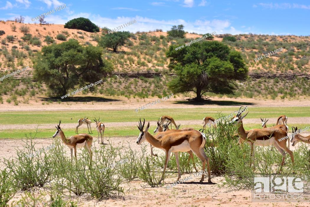 Stock Photo: Spring bucket (Antidorcas marsupialis) in the Namibian Etosha National Park. This antelope species is distributed exclusively throughout Southern Africa.