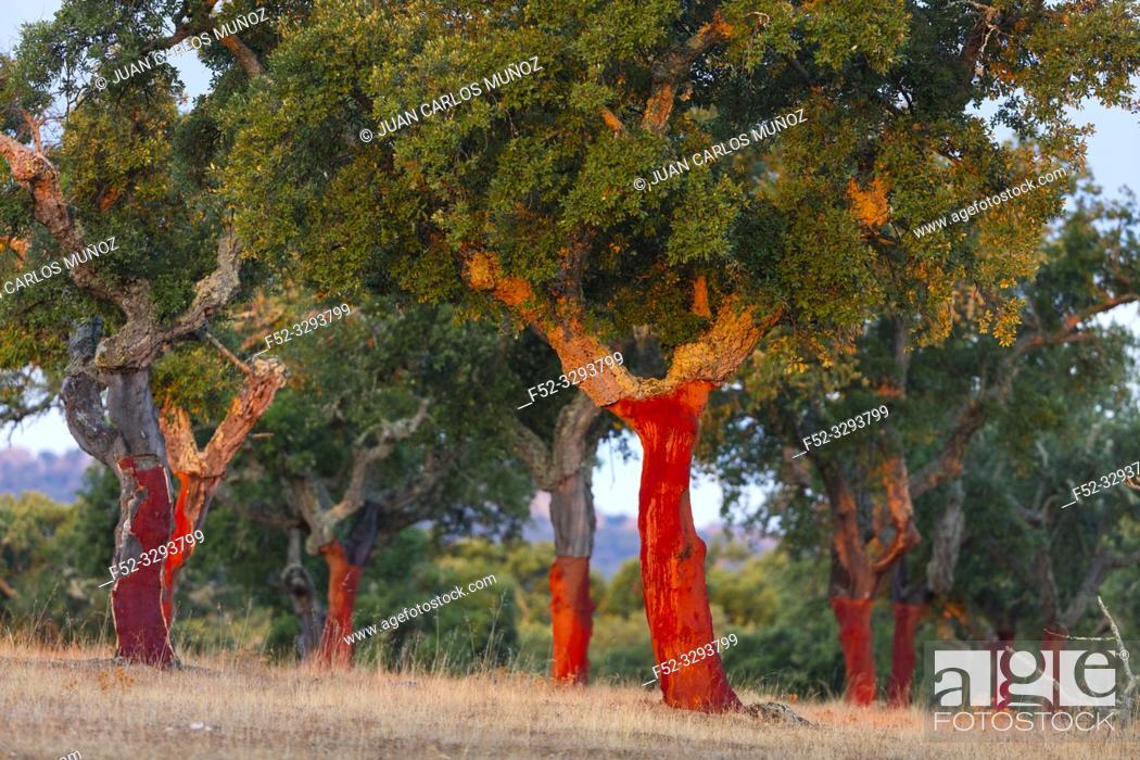 Stock Photo: Cork Oak, Mediterranean forest, Sierra de San Pedro, Cáceres, Extremadura, Spain, Europe.