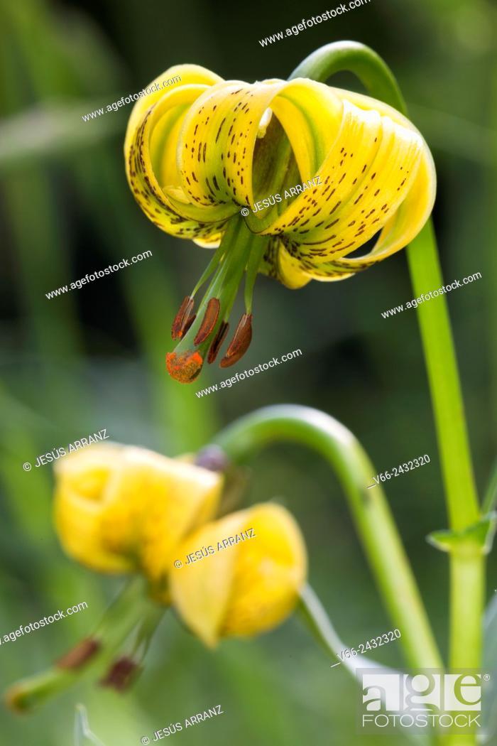 Imagen: Lilium pyrenaicum.