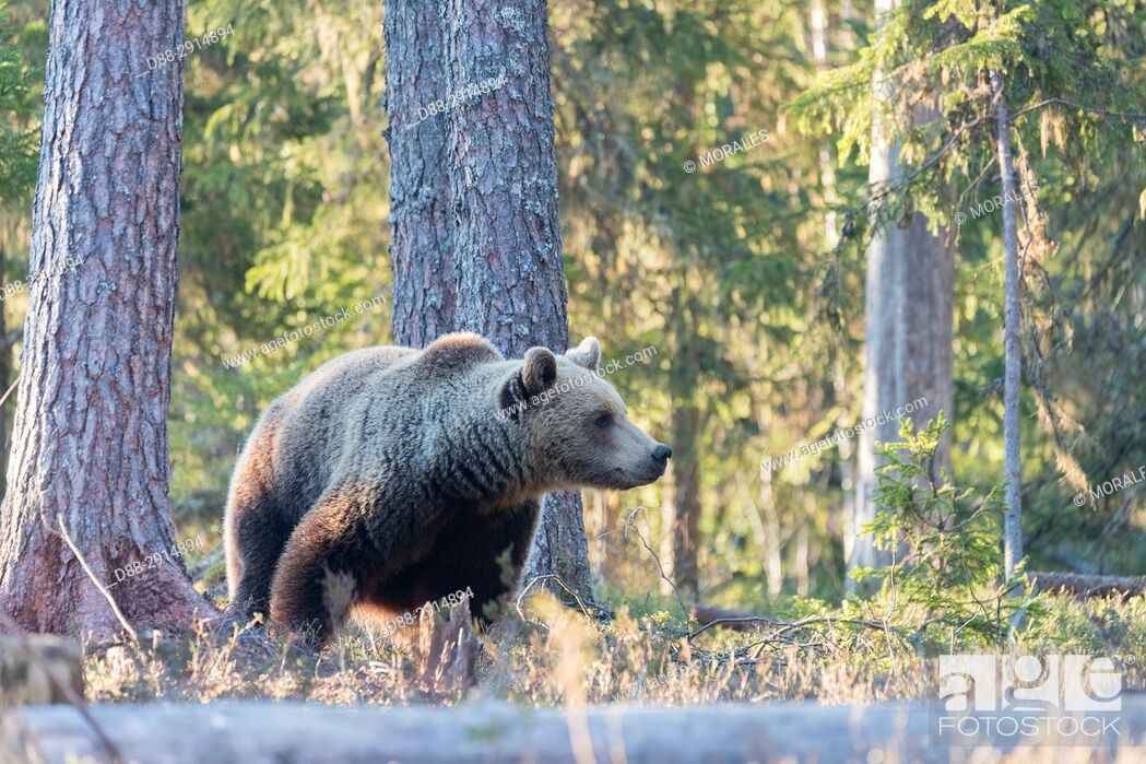 Photo de stock: Europe, Finland, Kuhmo area, Kajaani, Brown bear (Ursus arctos horribilis).