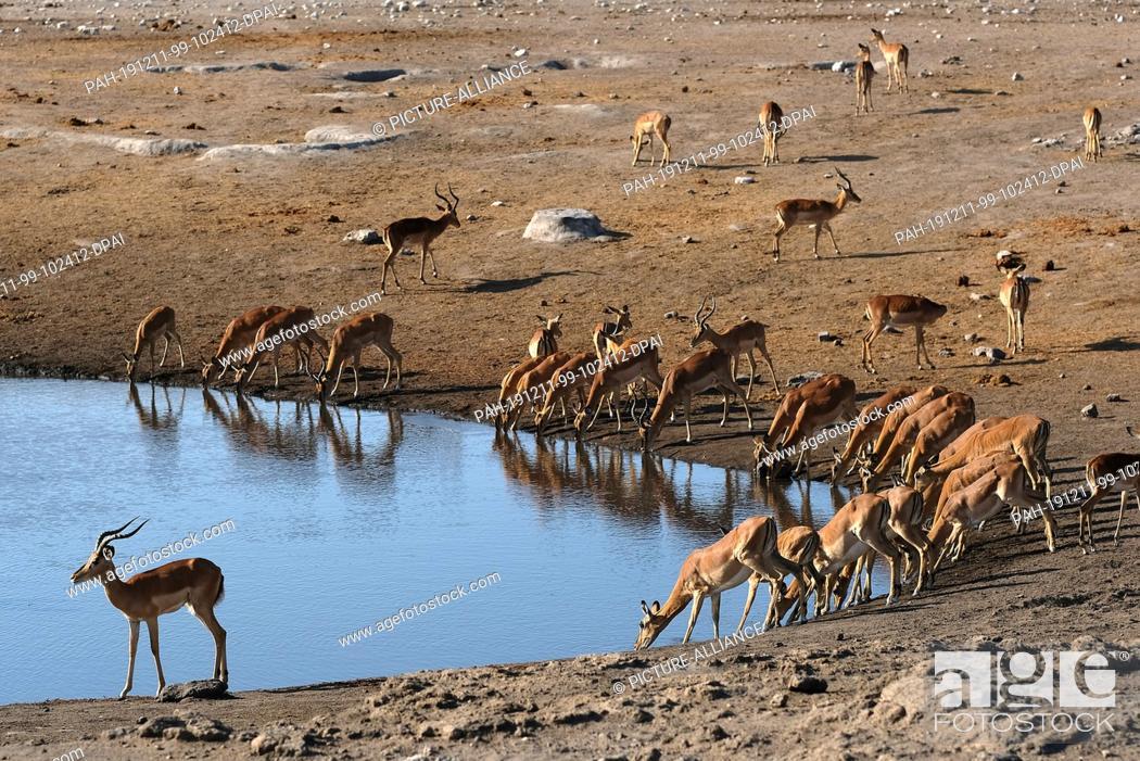 Stock Photo: 28 November 2019, Namibia, Etosha-Nationalpark: Antelopes drink in Etosha National Park at a waterhole. Photo: Oliver Berg/dpa.