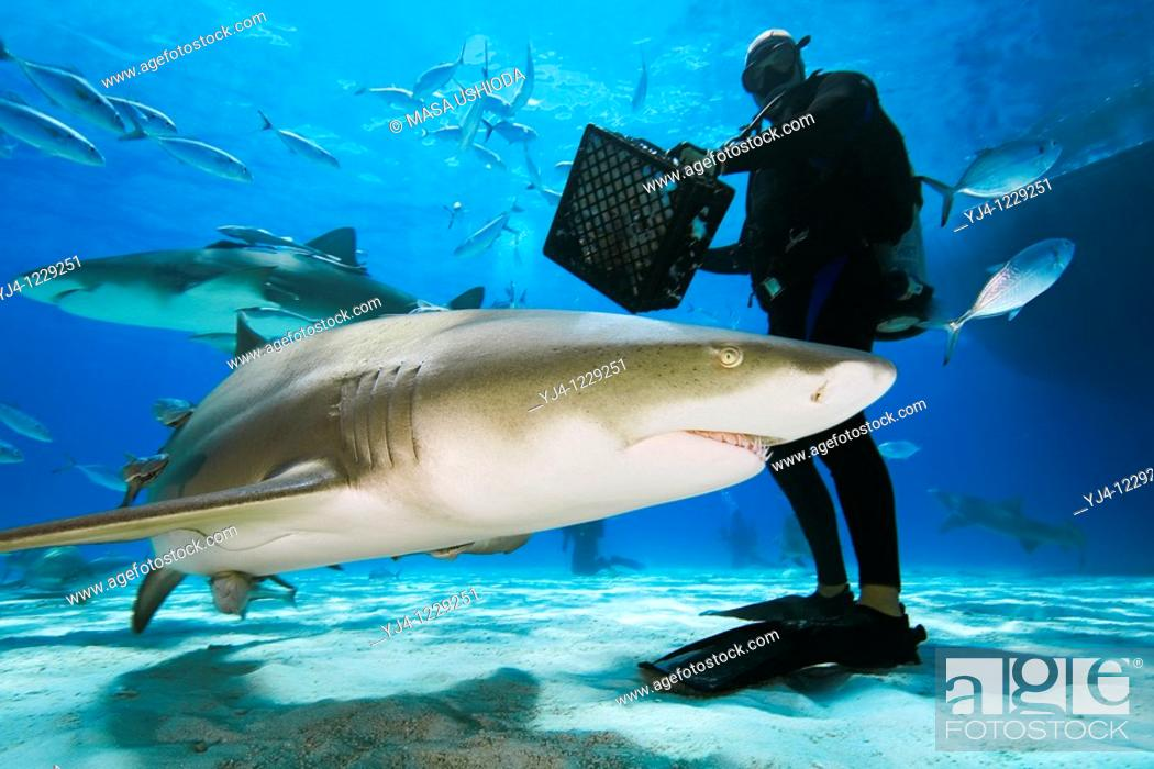 Stock Photo: scuba diver with shark baits, lemon sharks, Negaprion brevirostris, and blue runner jacks, Grand Bahama, Bahamas, Caribbean Sea, Atlantic Ocean.