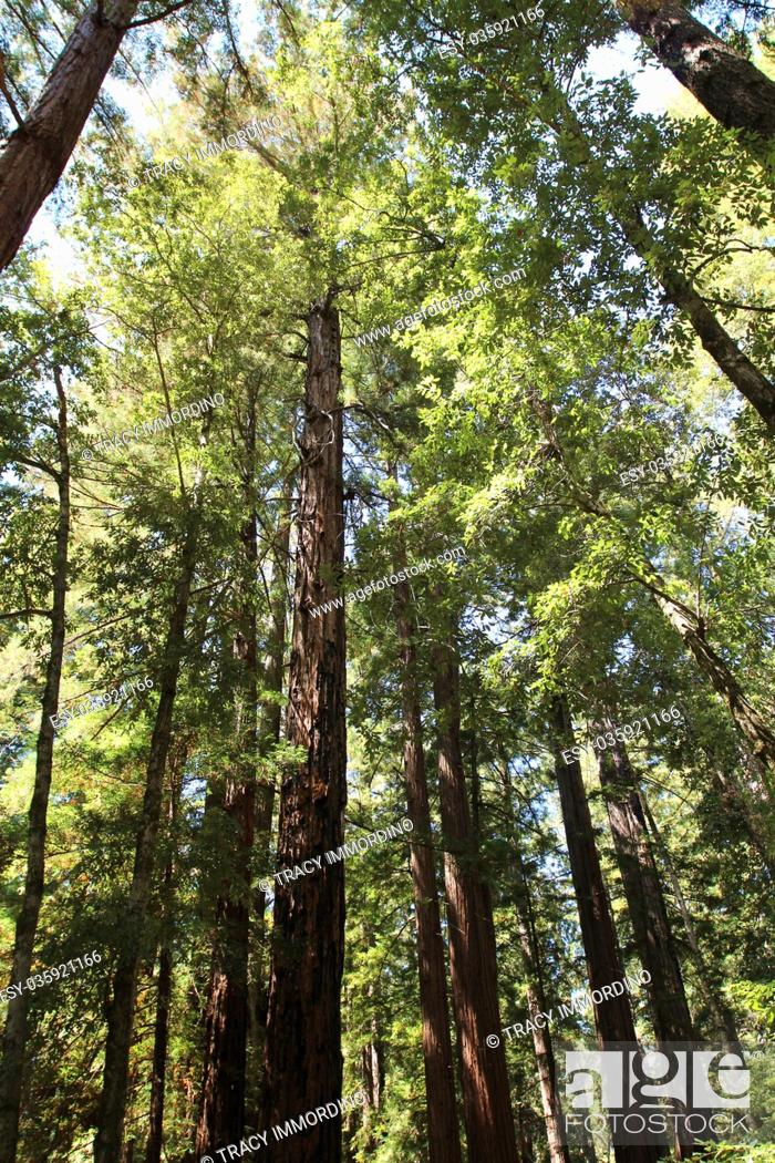 Stock Photo: Looking up into the canopy of giant Redwood trees at Big Basin Redwoods State Park in Boulder Creek, California, USA.