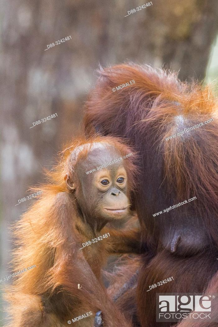 Stock Photo: Asia, Indonesia, Borneo, Tanjung Puting National Park, Bornean orangutan (Pongo pygmaeus pygmaeus), Adult female with a baby.