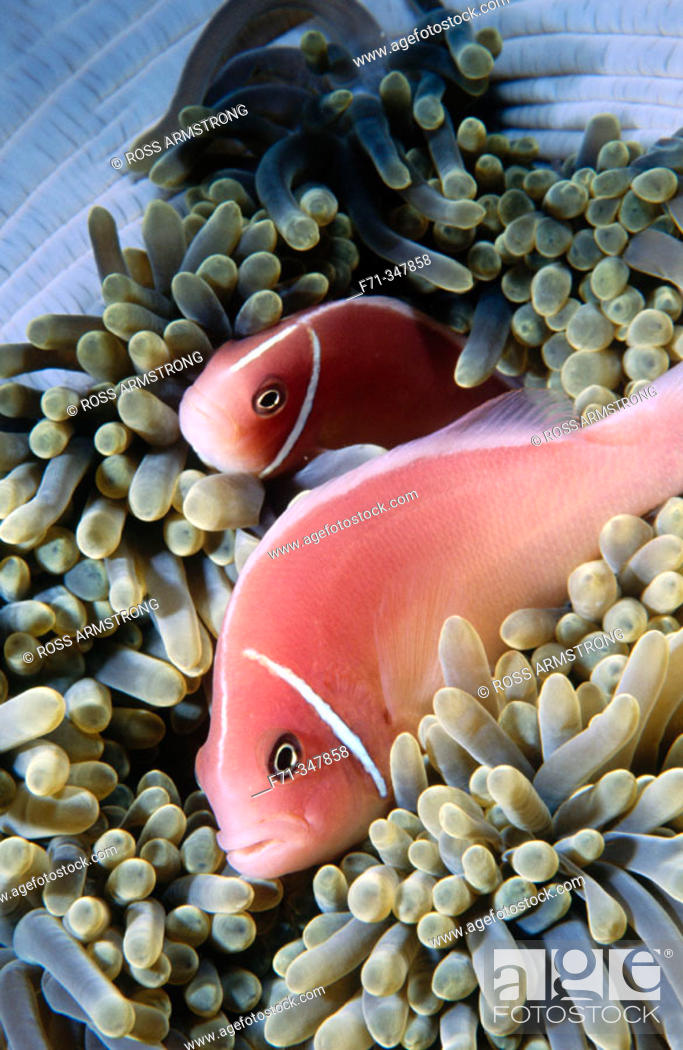 Stock Photo: Pink Anemonefish (Amphiprion perideraion). Kimbe Bay, Papua New Guinea.