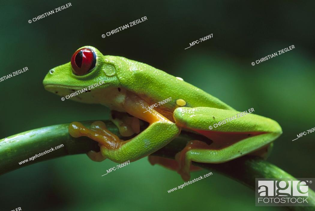 Stock Photo: Red-eyed Tree Frog Agalychnis callidryas, close-up on branch, ranges into tropical forests of Central and South America.