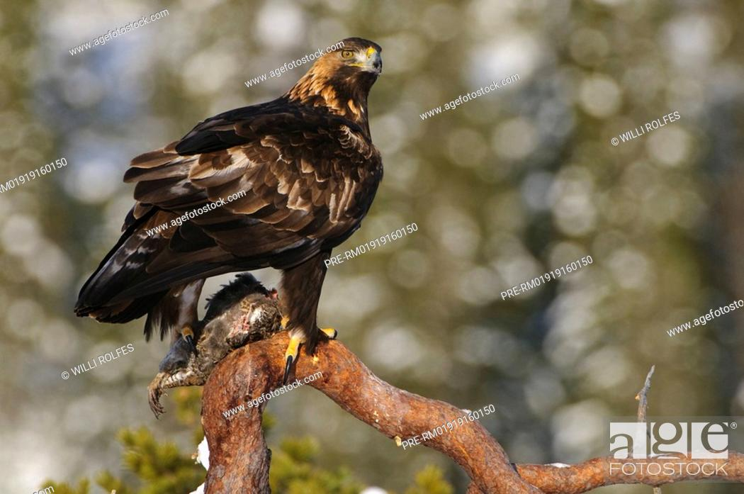 Stock Photo: Bald Eagle in winter, Aquila chrysaetos, Norway, Scandinavia, Europe.