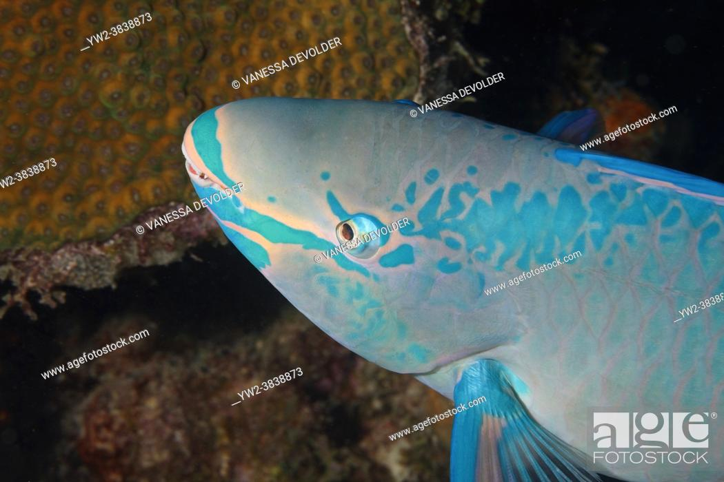 Stock Photo: Parrotfish (scarus) in the Caribbean sea around Bonaire. Close-up.