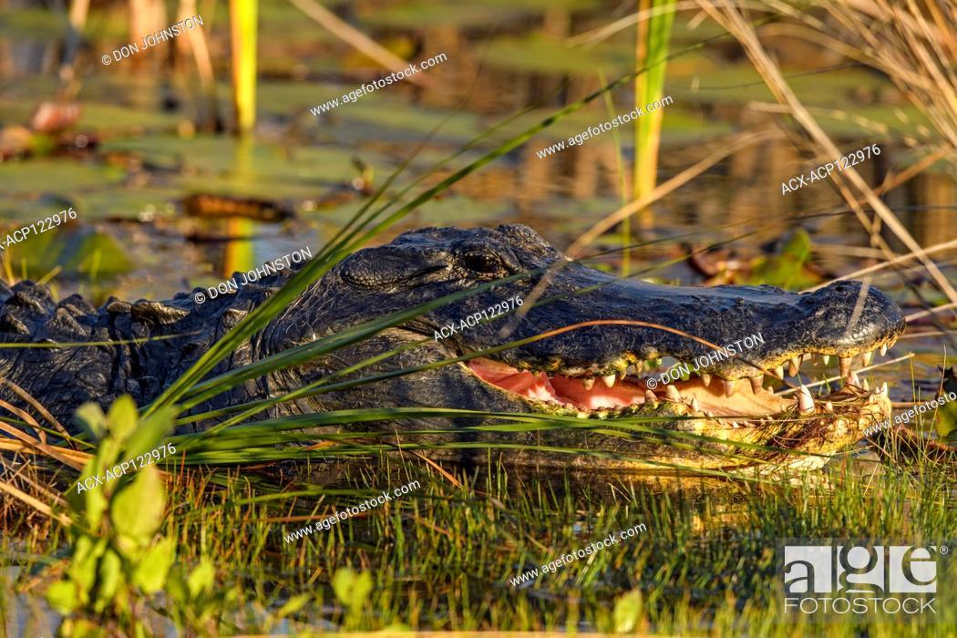 Stock Photo: American alligator, basking, St. Marks NWR, Florida, USA.