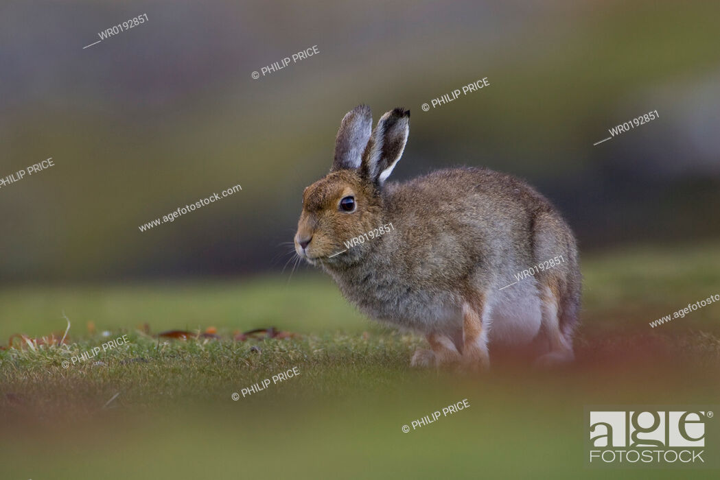 Imagen: Irish Hare Lepus timidus, sub species hibernicus grazing on a coastal grassy knoll Argyll and the Islands, Scotland, UK.