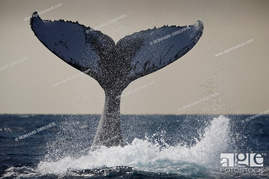 Stock Photo: Fluke of Humpback Whale, Megaptera novaeangliae, Silver Bank, Atlantic Ocean, Dominican Republic.