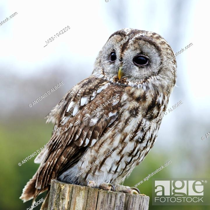 Stock Photo: An adult Tawny Owl (Strix aluco) on a perch.